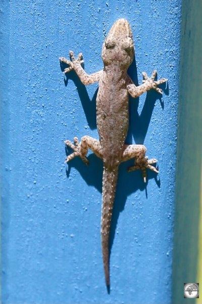 A House gecko on Home Island.