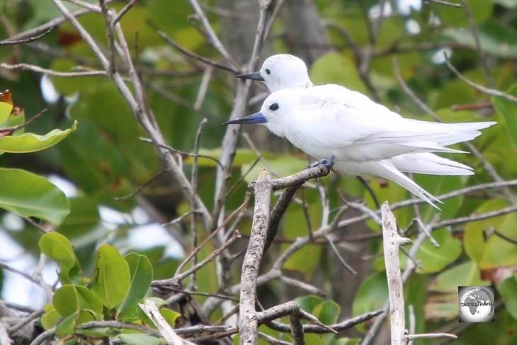 White terns on South Island.