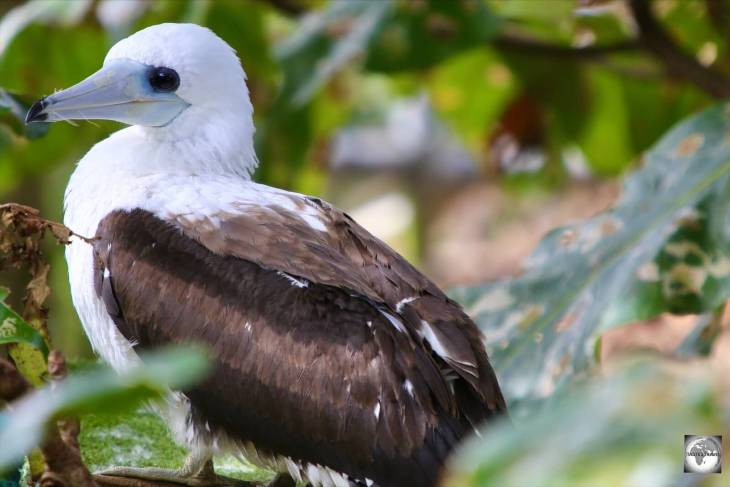 A juvenile Abbott's booby on Christmas Island.