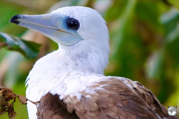 The rarest of booby species, Abbott's booby is only found on Christmas Island.