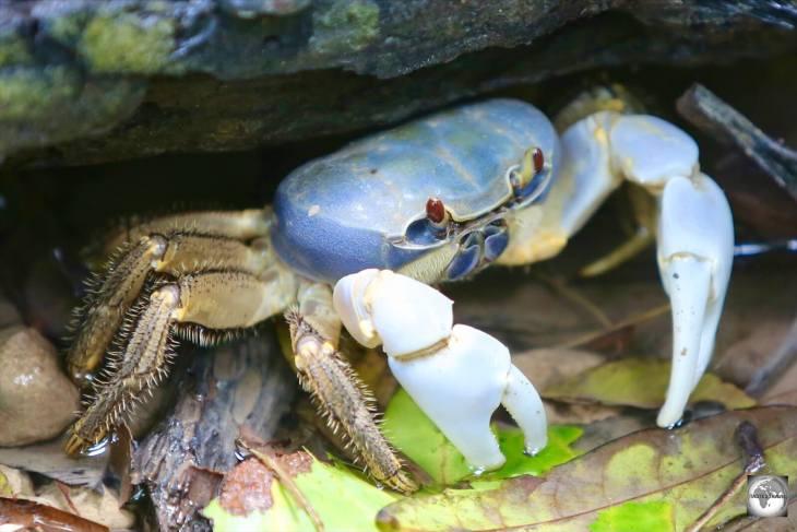 A Christmas Island blue crab, hiding in his burrow near Hughs Dale waterfall.