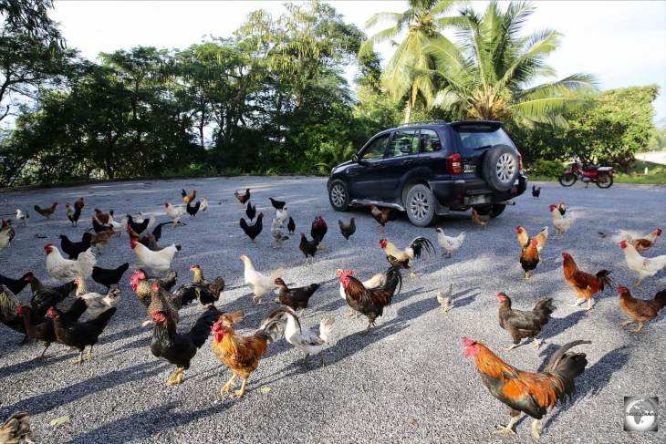 Feral chickens surround my rental car on Christmas Island.