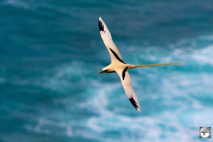 An island favourite, a Golden bosun, flying over Flying Fish Cove on Christmas Island.