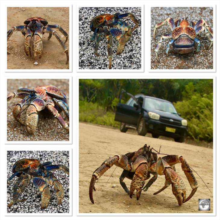 Christmas Island Robber crabs collage.