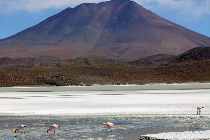 Andean flamingos feeding on the saline waters of Laguna Hedionda ('Stinking lake'), so named due to the sulphuric smell that emanates from its waters.
