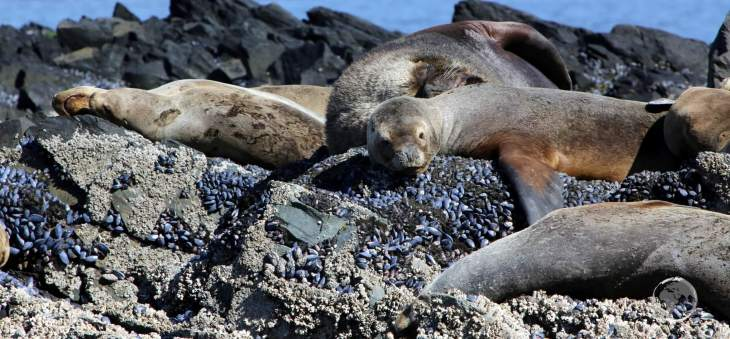 South American Sea Lions, lazing about on the rocks at Isla de los Lobos ('Sea Lion Island'), one of the main wildlife sights along the Beagle Channel.