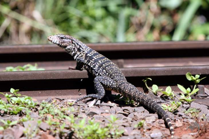 An Argentine Black And White Tegu, crossing the rail line at Iguazú Falls.