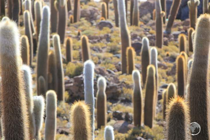 The cactus which covers Isla Incahuasi is the very slow-growing, 'Trichocereus pasacana' (Pasacana Tree Cactus), which grows at a rate of 1 cm per year.