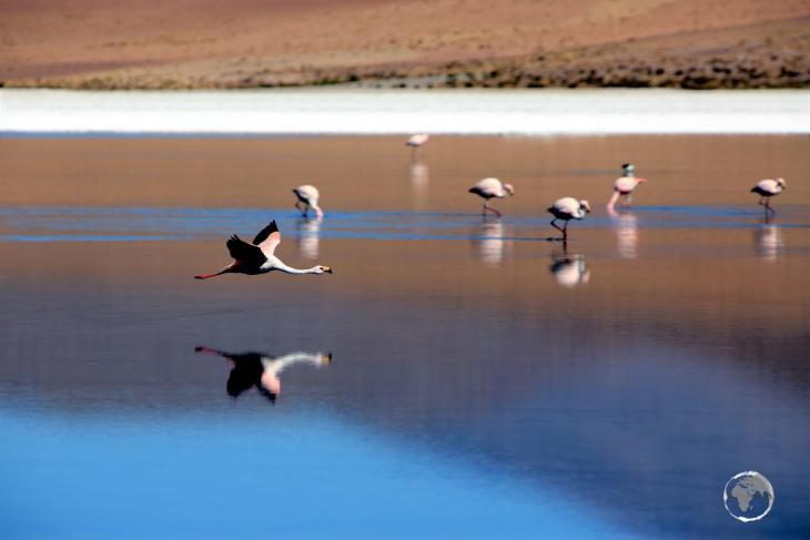 An Andean flamingo, flying over Canapa lagoon in the Salar de Uyuni, Bolivia.