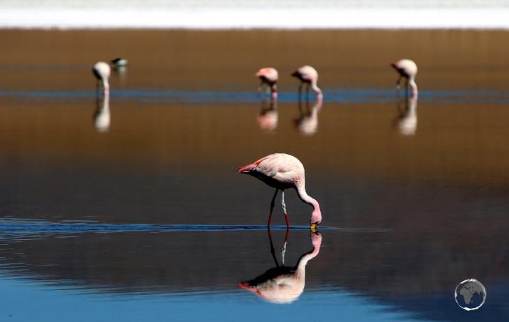 James's flamingos filter feeding at the Laguna Colorada (Red Lagoon) in the Bolivian altiplano.