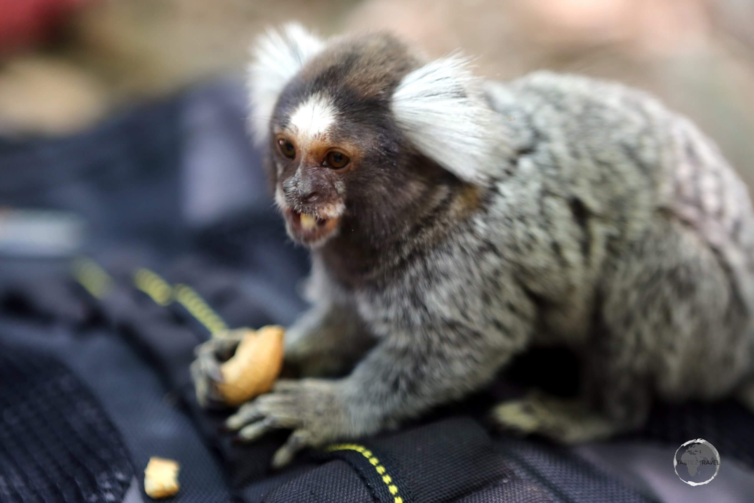 The very cute Common Marmoset, seen here at Pipa beach eating a cashew on my camera bag, is a New World monkey which is native to the north-eastern coast of Brazil.