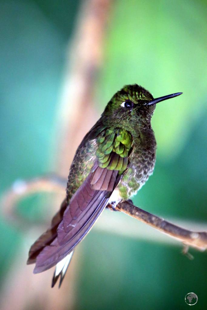 A Viridian Metaltail hummingbird at the 'Recinto del Pensamiento', which is set in the cloud forest 11km from Manizales, Colombia.