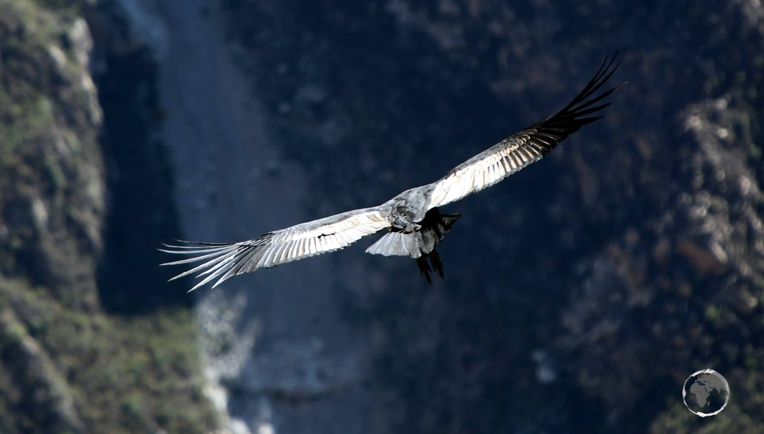 Andean Condors roost inside Colca canyon, in areas where they can make use of favourable thermals to get themselves airborne in the morning.