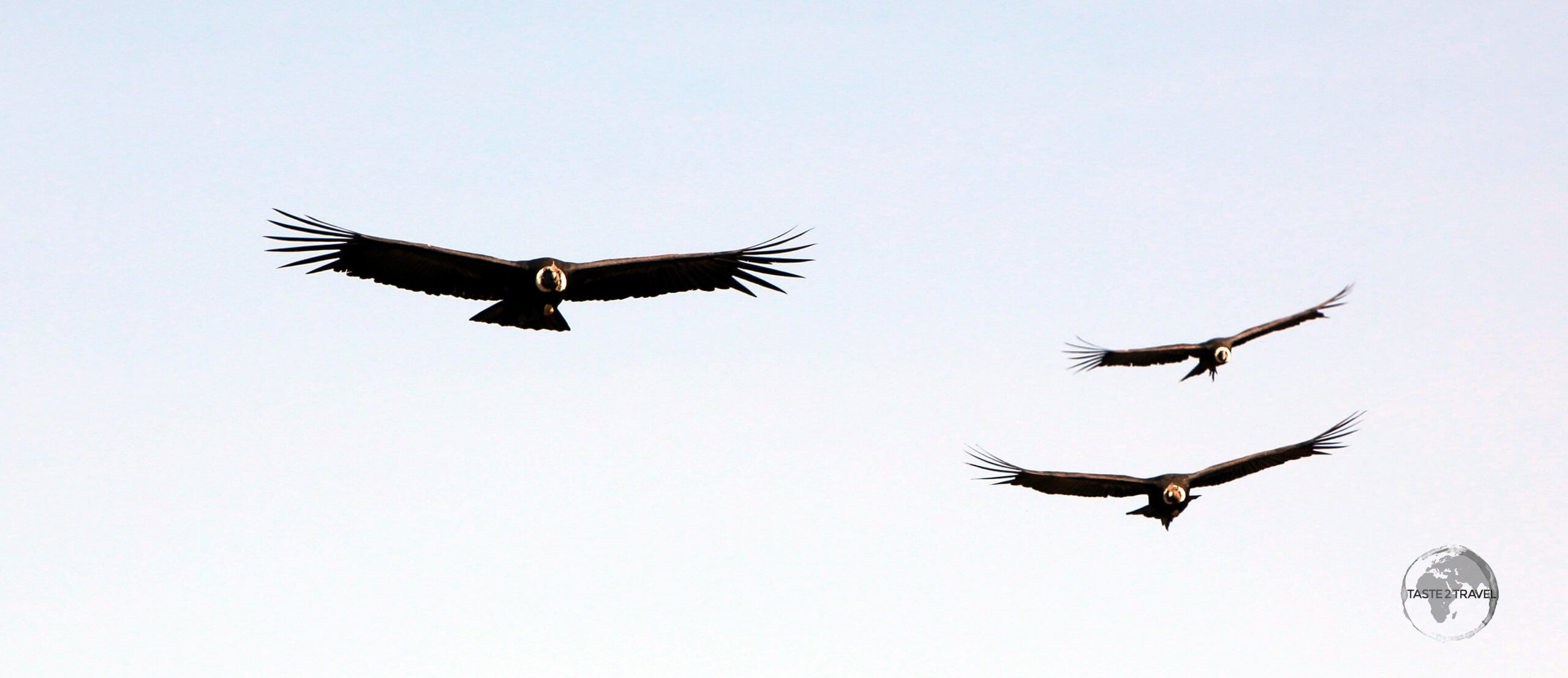 While the usually solitary Andean Condor can be seen throughout the Andes, the best place to see these striking raptors, in larger numbers, is in the Colca Canyon of southern Peru.