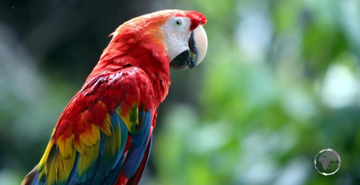 The Scarlet Macaw, such as this one in Iquitos, Peru, is a gorgeously red, yellow, and blue parrot with a prominent colour of red throughout its body.