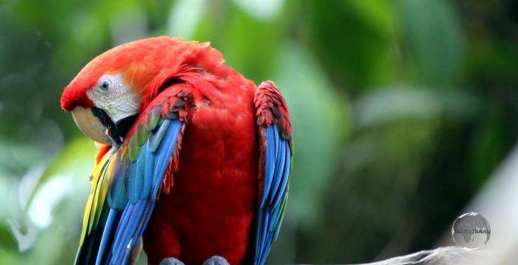 The largest parrot species, Macaws are a common sight in Iquitos, Peru.