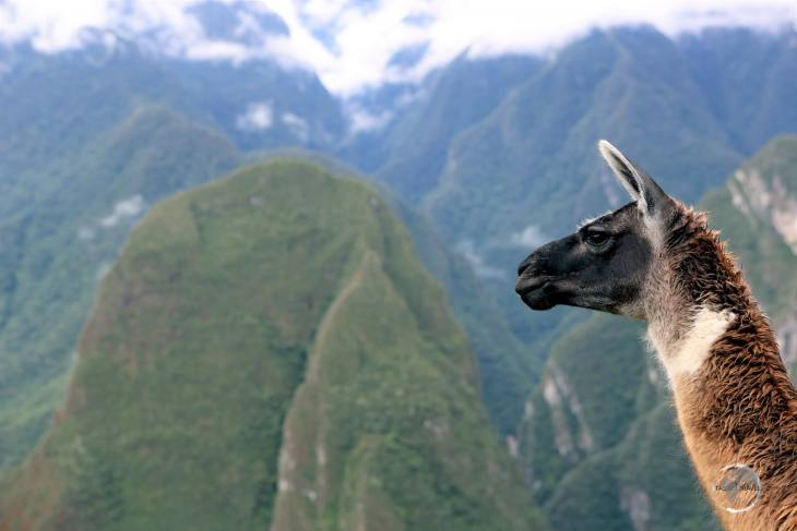 A llama at Machu Picchu. One of four camelid species in South America, llamas live in the mountain regions of Chile, Argentina, Bolivia and Peru.