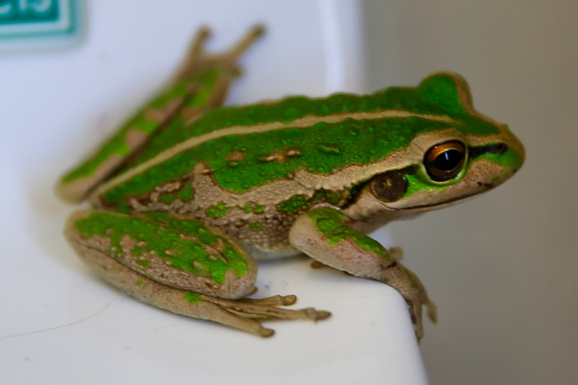 A cute Motorcycle frog in my bathroom at Busselton.