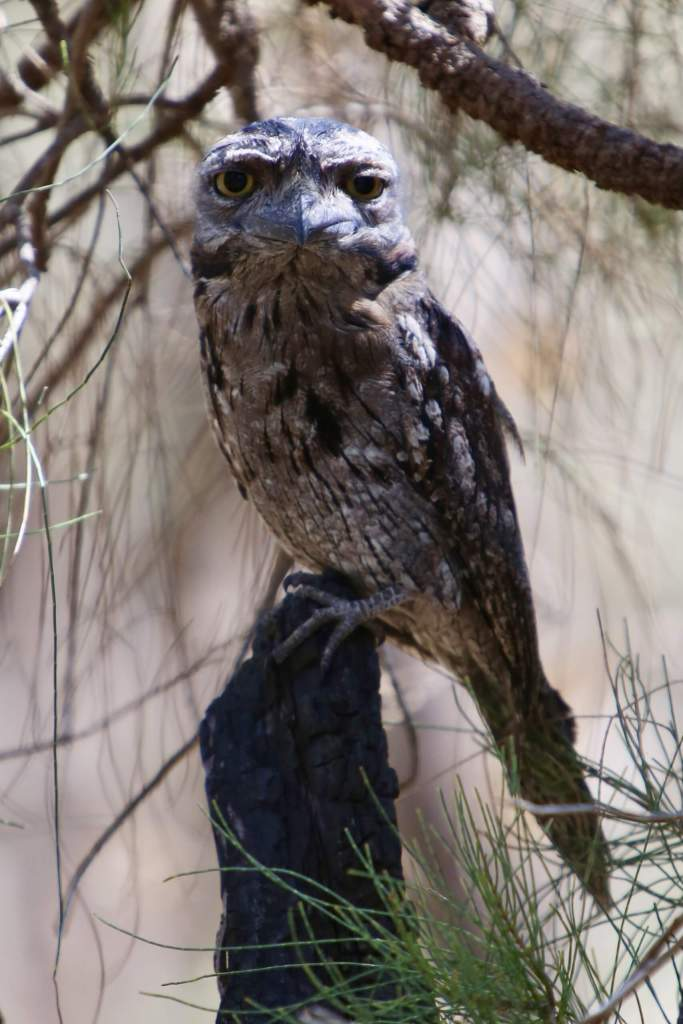 A Tawny Frogmouth in Kings Park, Perth.