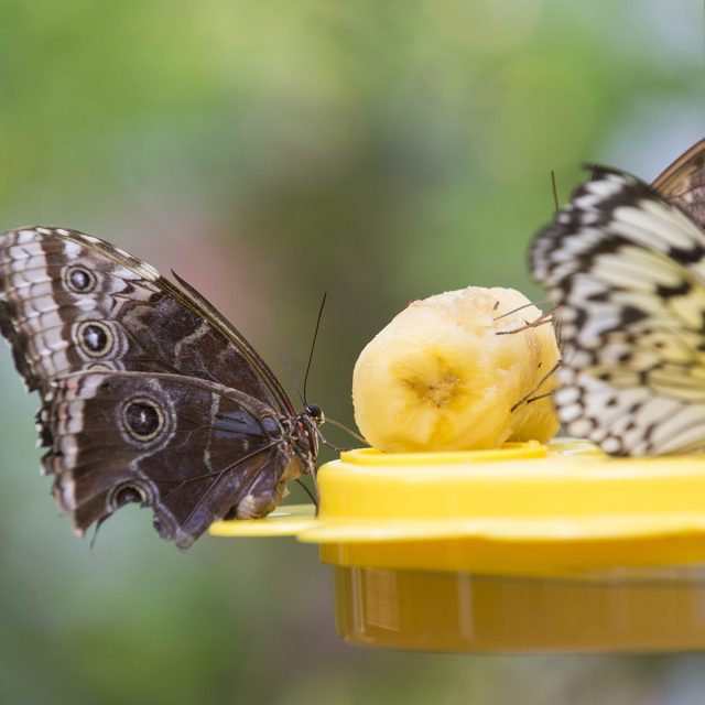 Beautiful exotical grey brown butterflies sitting on feeder eating tropical fruit of yellow banana outdoor on natural blurred background