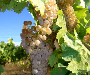 Grapes in a vineyard - 5 myths about wine tours