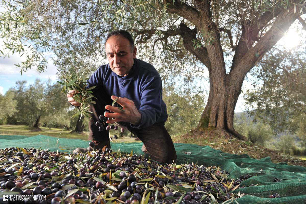 A Sardinian farmer harvesting olive with bare hands