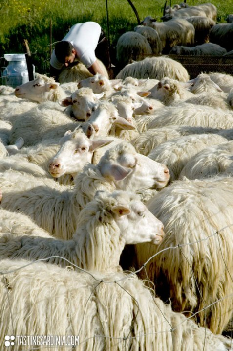 shepherd milink a sheep of his flock