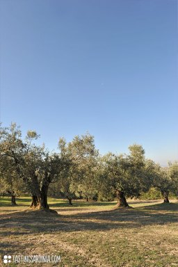 olive-grove_ND3_8710