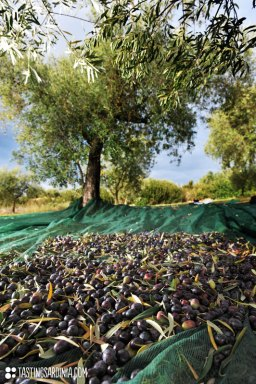 olive-oil-grove_ND3_8480