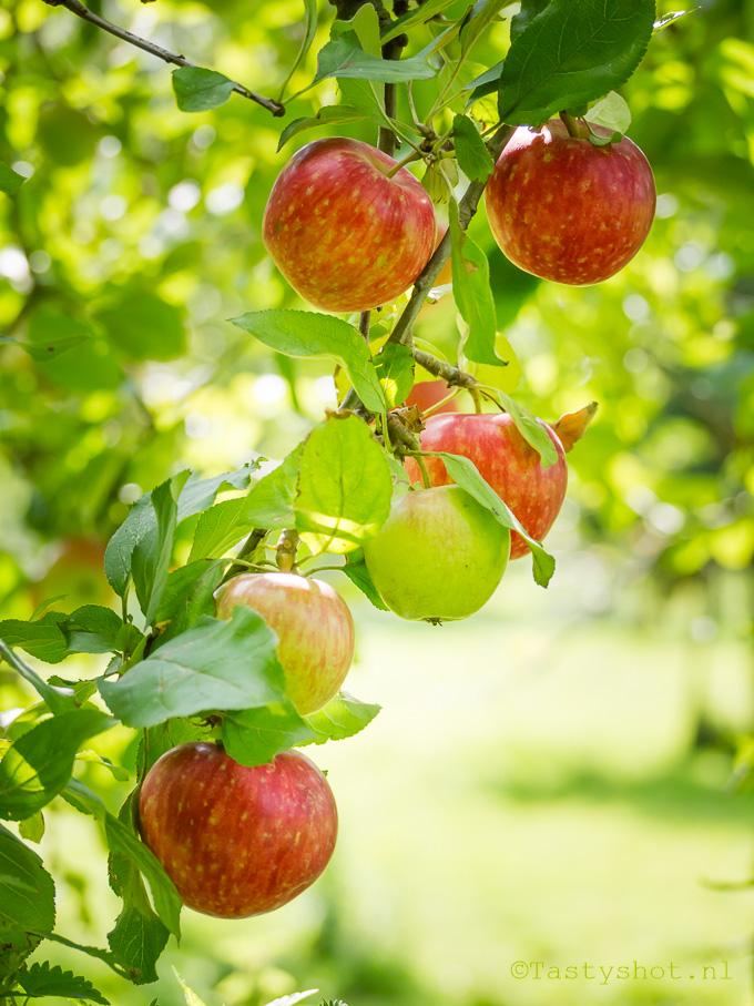 Appels en peren plukken op landgoed de Olmenhorst