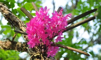 Asia-Pacific Orchid Conference 03