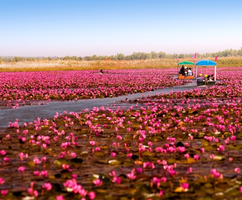 The beautiful red lotus sea in Udon Thani
