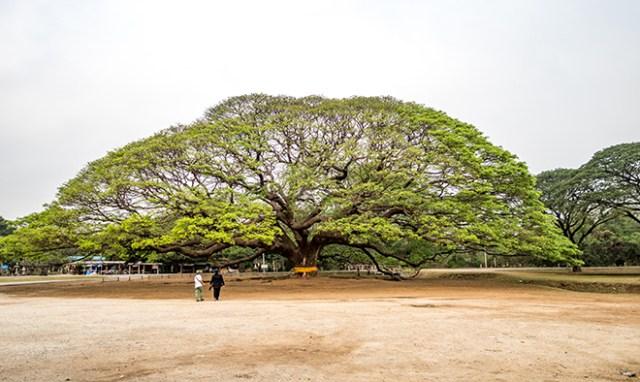 Giant Rain Tree Kanchanaburi