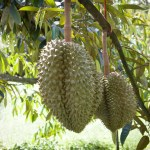 Durian - TAT Newsroom