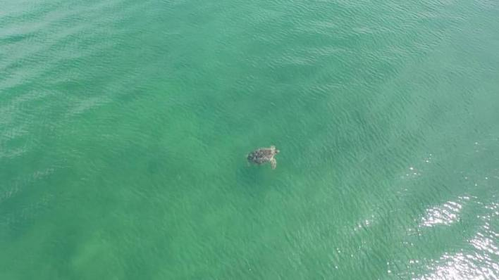 Dugongs, dolphins, sea turtles spotted offshore in Trang