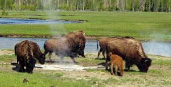 3/30/2014 Yellowstone Magma Chamber Animals Leaving Yellowstone? What Do They Know We Don't Know?