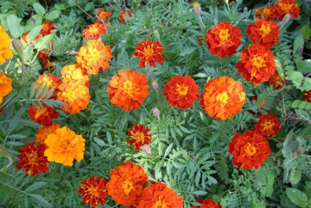 Marigolds Flowers   Plants That Repel Snakes