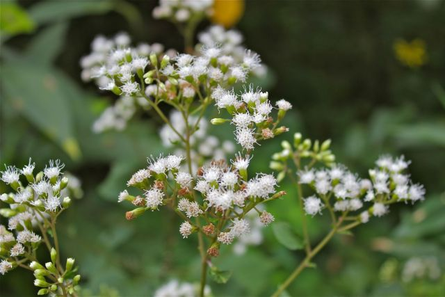 White Snakeroot   Plants That Repel Snakes