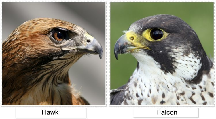 Difference between falcon and hawk