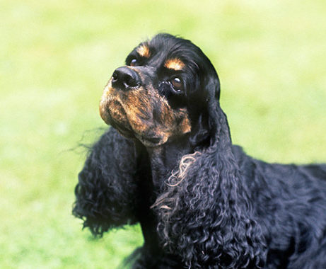 cocker spaniels are prone to ear infections