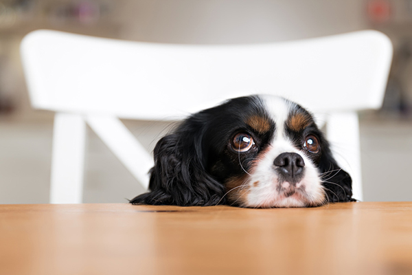 a dog sitting at a table looking hungry or bored