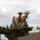 goats-roof-600x400