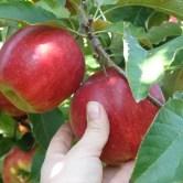 picking-apples-640x480