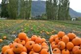 pumpkin-patch-2015-600x400