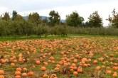 pumpkin-patch-600x400