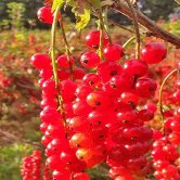 redcurrants-600x400