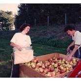 sorting-apples-550x400