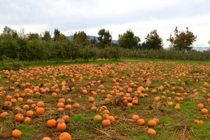 Taves Farms pumpkin patch