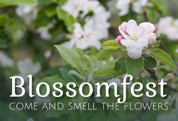 blossoms, blossomfest at Taves Family Farms