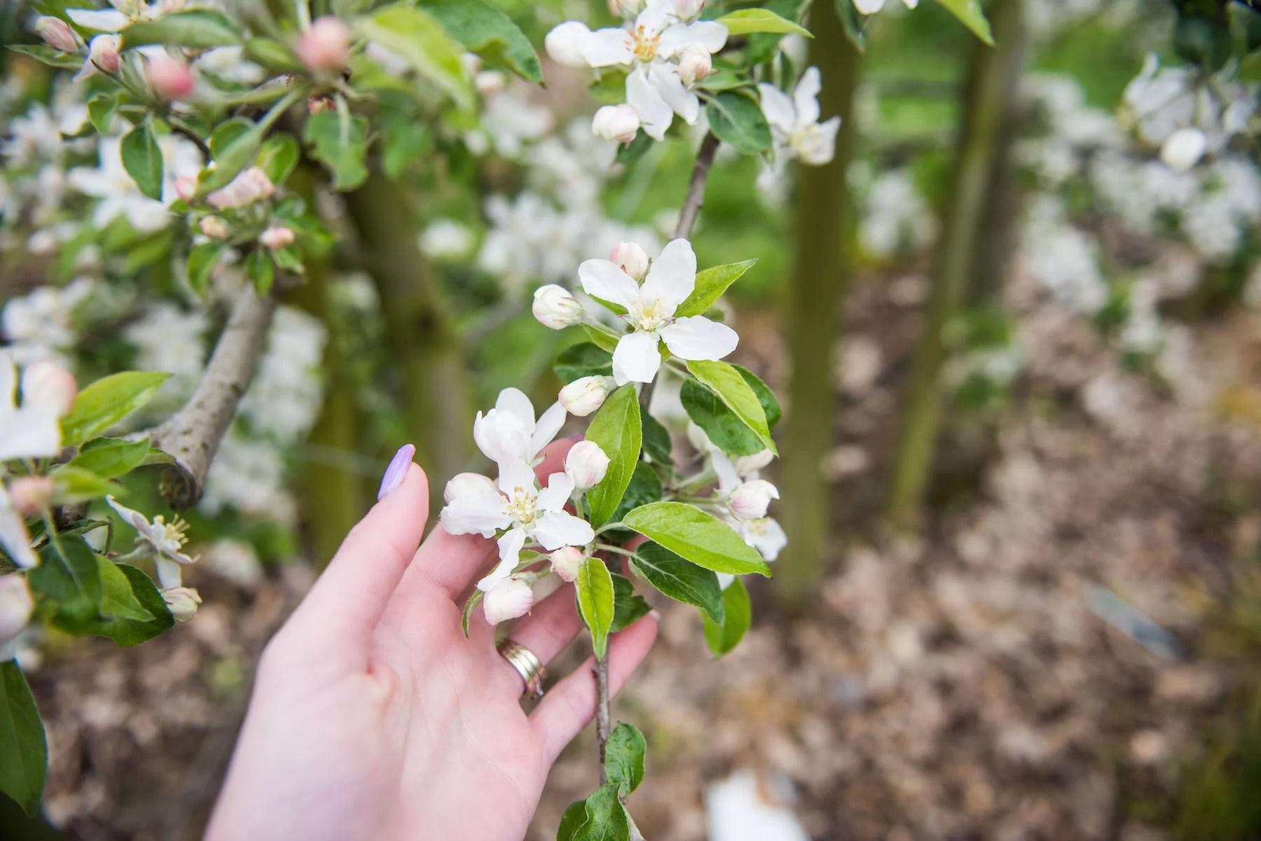 blossomfest5